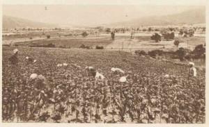 Une plantation de tabac dans la région de Bône